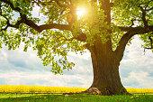 single huge oak tree in canola field in sunlight