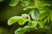 single ladybird on leaf