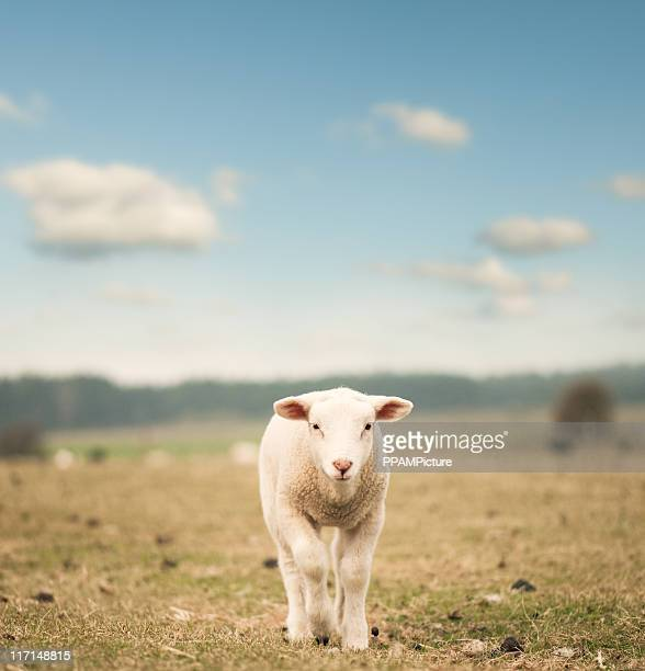 Single lamb on the field