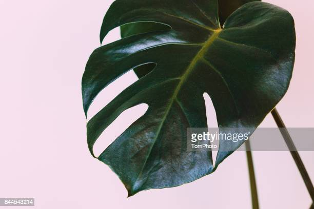Single leaf of Monstera deliciosa palm plant on pink background