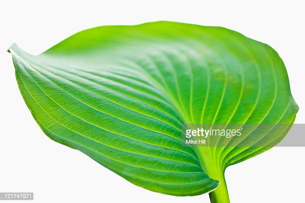 Single leaf of plantain lily (Hosta)