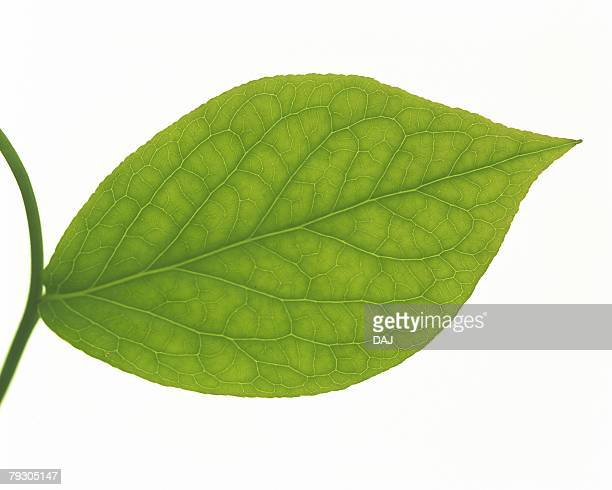 Single Leaf on Branch, High Angle View, Close Up