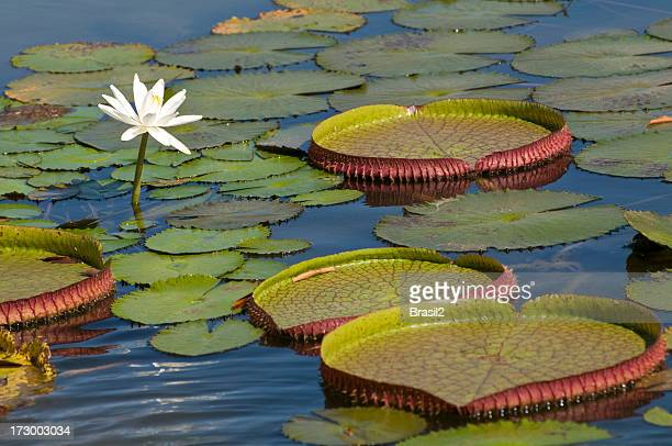 Single lotus blooming among lily pads in the Amazon