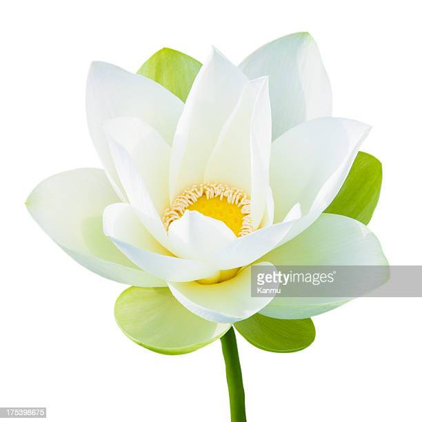 Single lotus flower