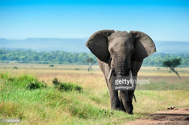 Macho único elefante de Masai Mara