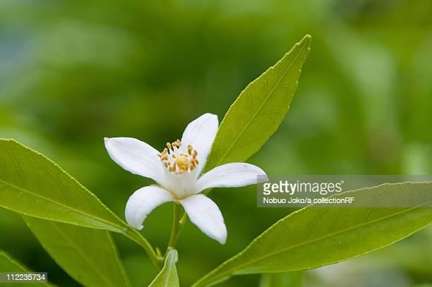 Single Mandarin Orange Blossom