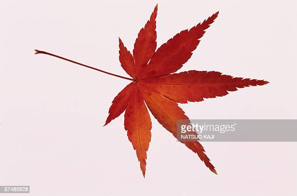 Single maple leaf, close-up