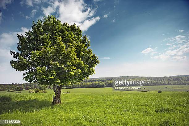 Single maple tree in rural setting