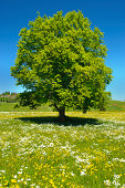single old perfect beech tree on horizon in Bavaria