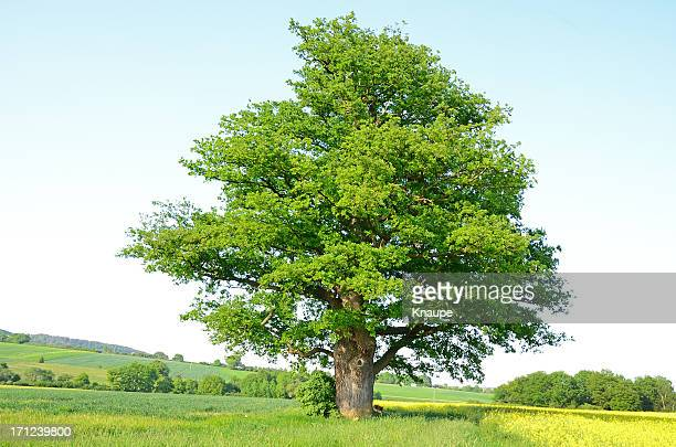 Single old oak tree on meadow in spring