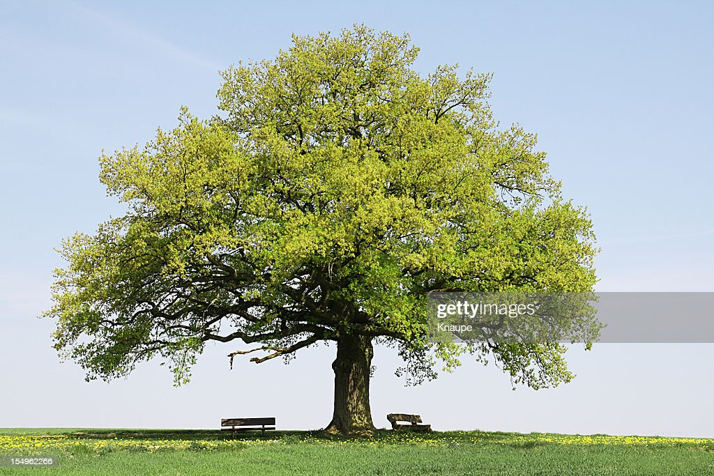 Single old oak tree with benches on meadow in spring