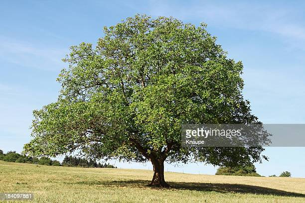 Single old walnut  tree on meadow with dry grass