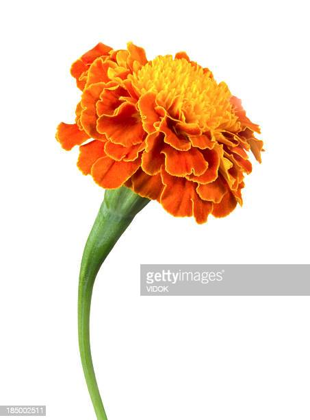 A single orange marigold flower on a white background