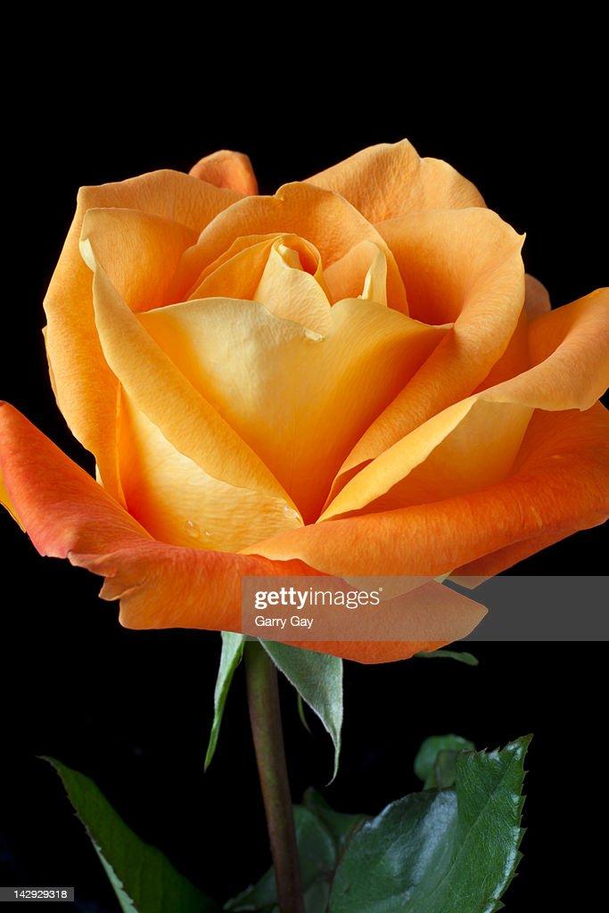 Single orange rose : Stock Photo