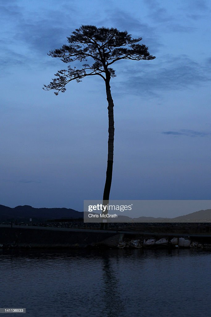 A single pine tree is left standing after last year's March 11th tsunami which swept away an entire forest in the city of Rikuzentakata is seen at...