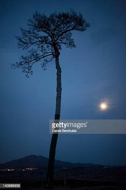 A single pine tree that was left standing after the March 11th tsunami which swept away an entire forest in the city of Rikuzentakata is seen on...