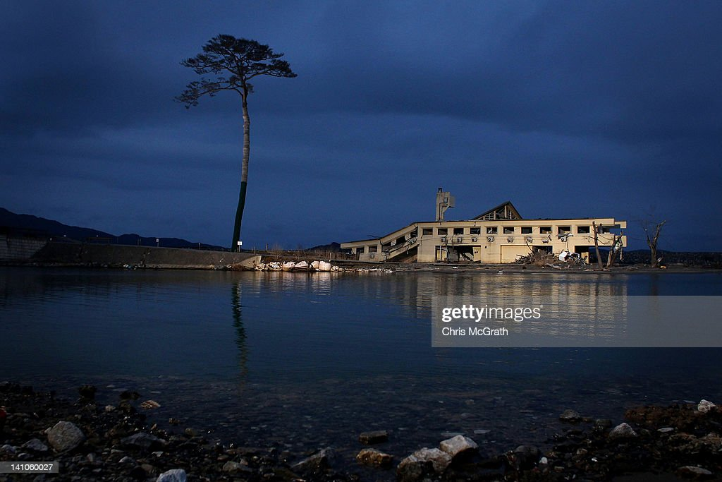 A single pine tree that was left standing after the March 11th tsunami last year which swept away an entire forest in the city of Rikuzentakata is...