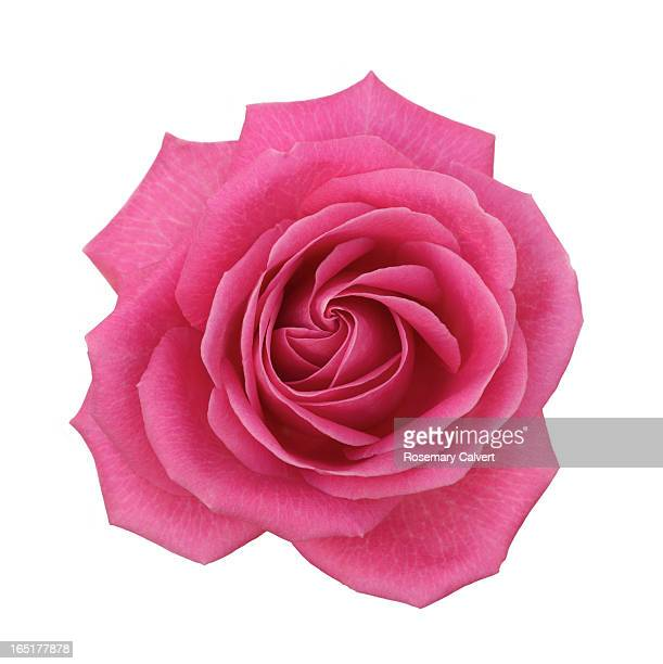 Single pink hybrid rose from above on white.