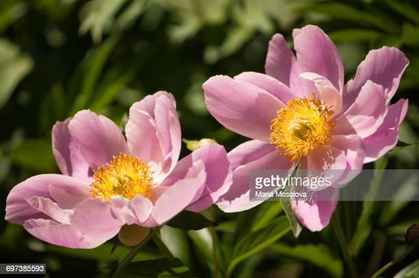 Single Pink Peony Flowers Touching