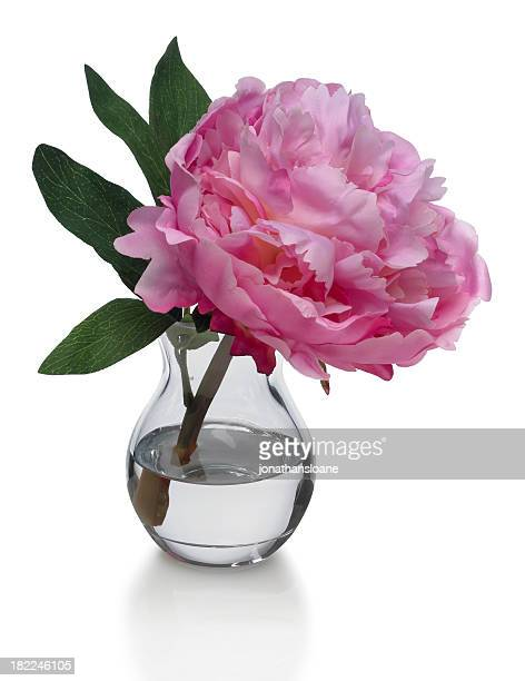 Single Pink Peony in Vase on white background