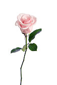 single pink rose isolated on white background