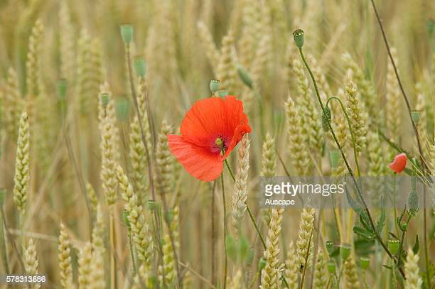 Single Poppy Papaver sp flowering in wild grass in summer