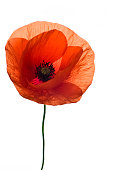 A single red poppy flower on a white background