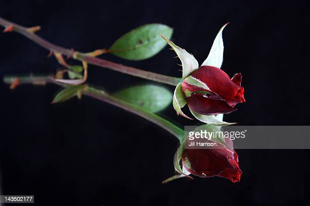 Single red rose bud with reflection