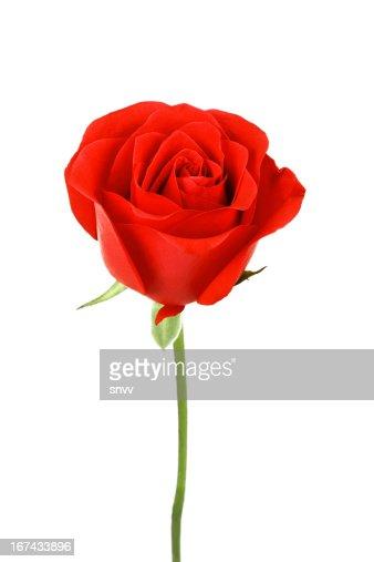 Uma única flor Rosa vermelha isolado em fundo branco : Foto de stock