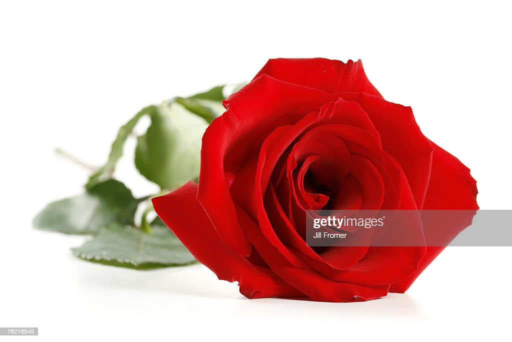 A single red rose isolated on a white background. : Stock Photo