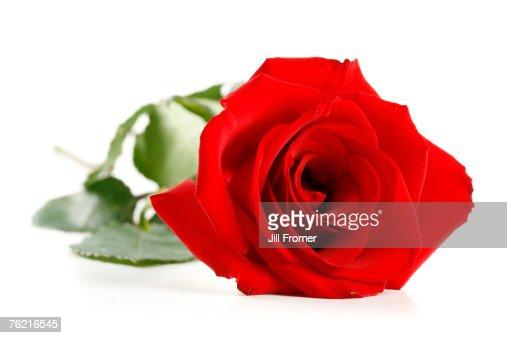 A single red rose isolated on a white background.