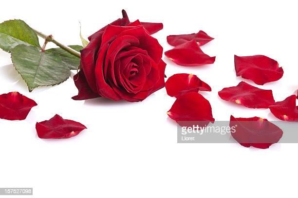 Rote rose, isoliert auf weiss