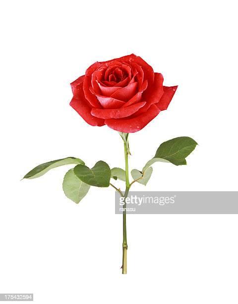 Singola rosa rossa
