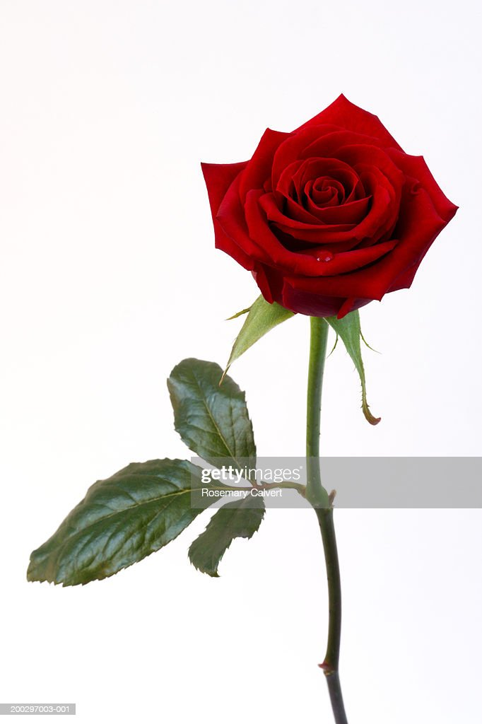 Single red rose (Rosa sp.) : Stock Photo