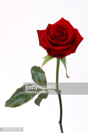 Single red rose (Rosa sp.)