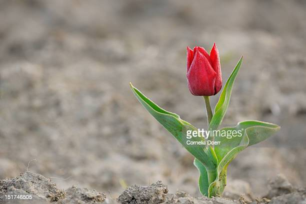 A single red tulip growing in cracked dry soil