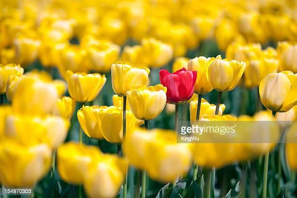 Tulipe Rouge dans un champ jaune