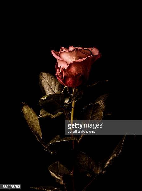 Single rose, moody lighting