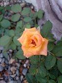 A single rose in the garden.