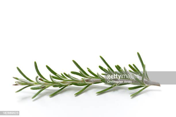 Single Sprig of Fresh Rosemary