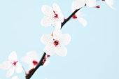 Single Sprig of Sakura Cherry Blossom