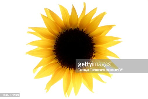 single sunflower stock photo  getty images, Beautiful flower