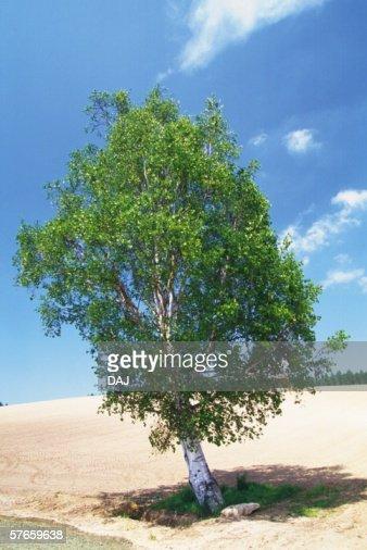 Single Tree and Blue Sky : Stock Photo