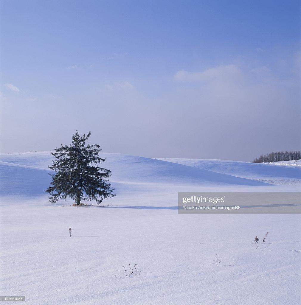 A Single Tree in a Snowy Field. Furano, Hokkaido, Japan : Stock Photo