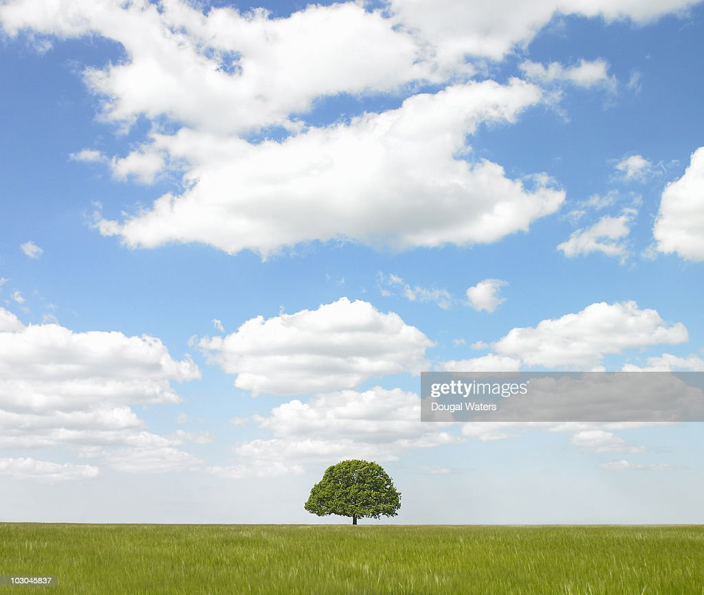 Single tree in countryside. : Stock Photo