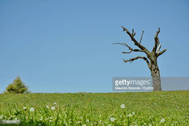 Single Tree In Field Against Clear Blue Sky