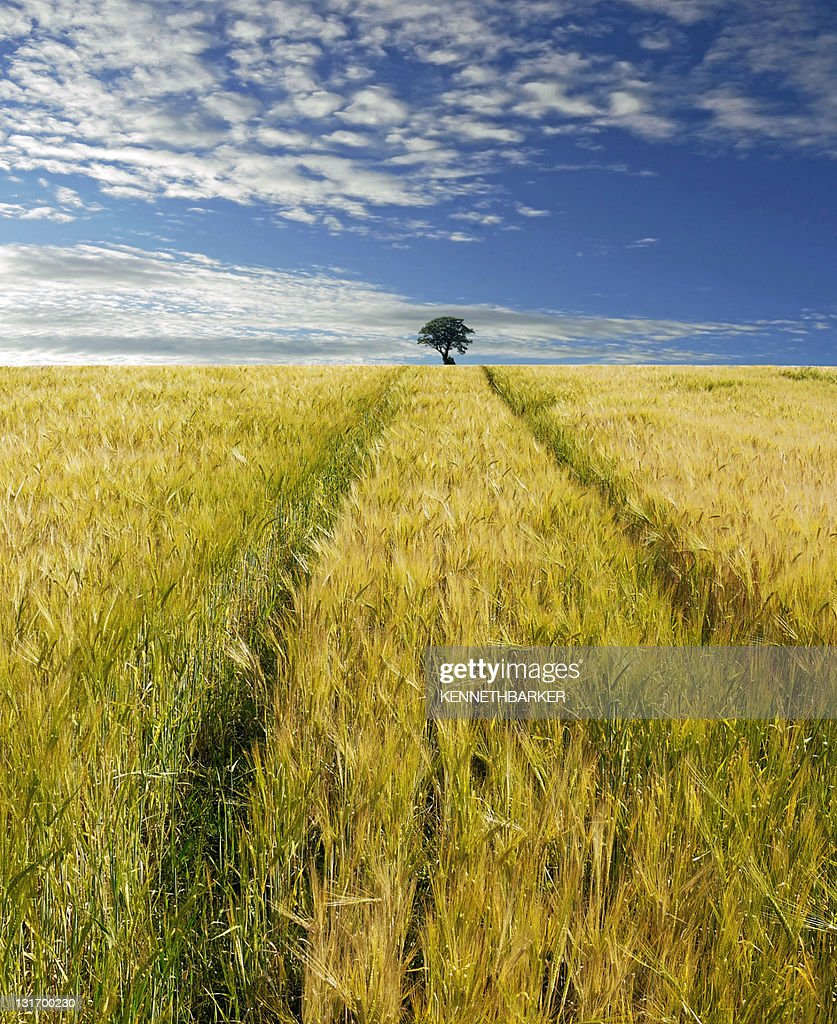 Single tree in field with clouds in sky : Stock Photo
