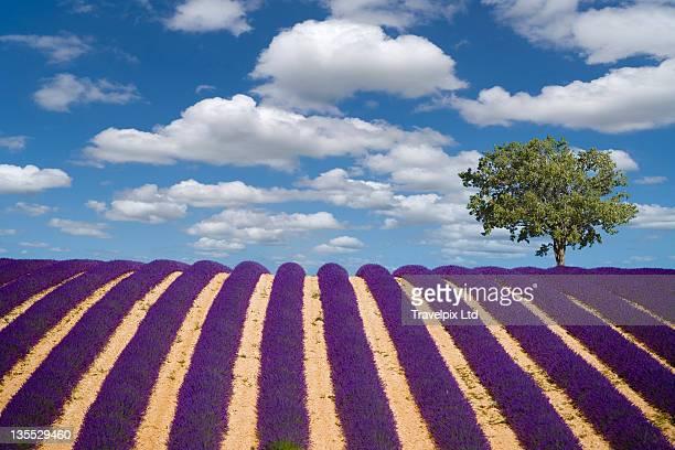 Single Tree in Lavender Field, Provence, France
