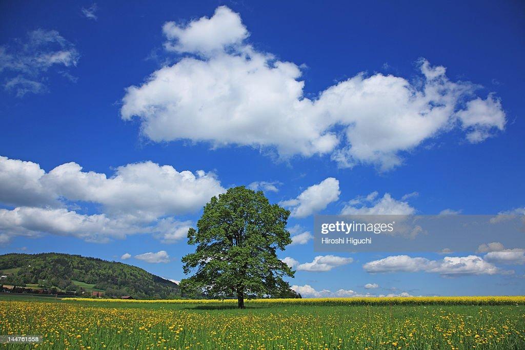 Single tree in spring : Stock Photo