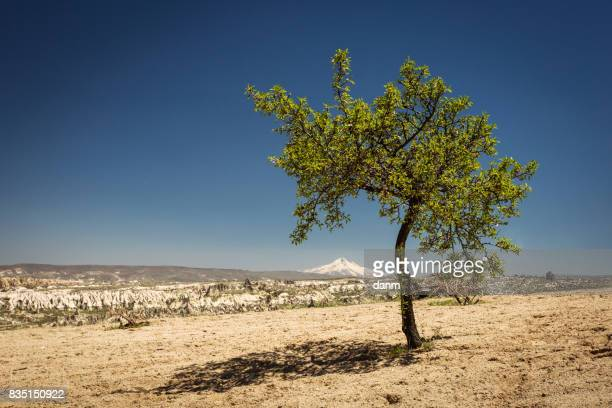 Single tree in the middle of day with Goreme City in background. Cappadocia, Turkey